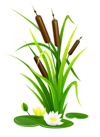 Reed bush thicket plant with green leaves and water lily flowers vector illustration, eps10 isolated white background 矢量图像