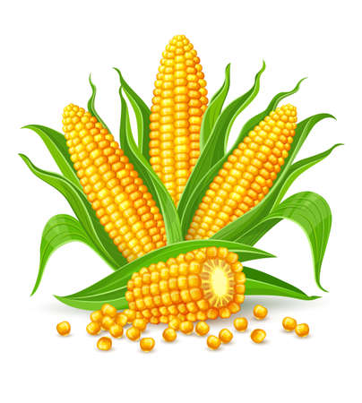 Corncobs with yellow corns and green leaves.