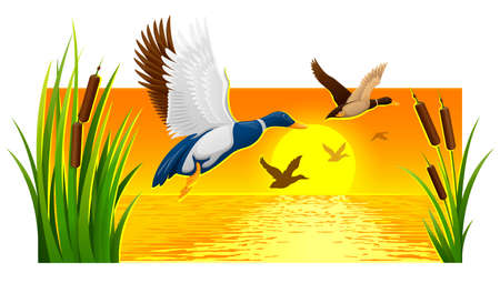 Wild ducks soaring from reeds on lake with bright sun and sunset sky with reflections ripple water at background. Nature evening landscape banner. Eps10 vector illustration. Illustration