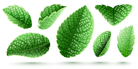 Set of fresh green mint leaves. Main natural organic ingredient for refreshing drinks like lemonade or mojito. Isolated on white background. Realistic EPS10 vector illustration.