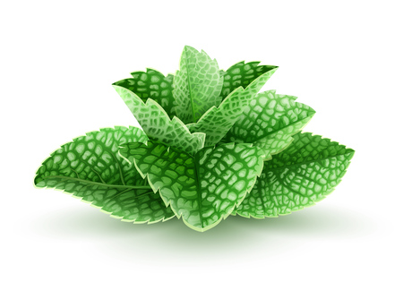 Fresh green mint leaves. Main natural organic ingredient for refreshing drinks like lemonade or mojito. Isolated white background. Realistic EPS10 vector illustration.