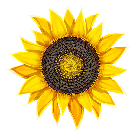 Sunflower agricultural plant head with oil seeds isolated on white background Stock Illustratie