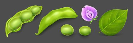Soy agricultural plant beans with green leaves, flower and pods. Realistic Vector illustration. Isolated on dark gray background. Gradient mesh used. Illustration