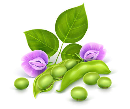 Soy plant beans with green leaves, flowers and pods. Realistic Vector illustration. Isolated on white background. Gradient mesh used. Banque d'images
