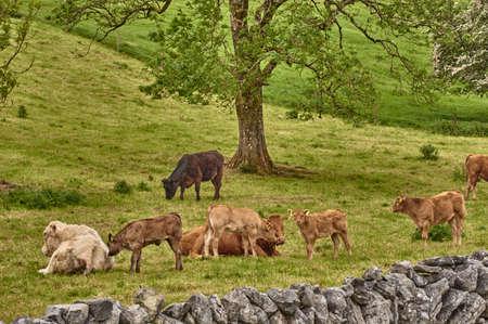 Irish landscape. Cows grazing beneath a big tree on a green meadow in Ireland. Reklamní fotografie