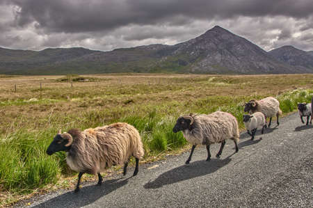 Herd of sheep on a road in Connemara national park, Ireland. Herd of sheep on a lonely street in Ireland.