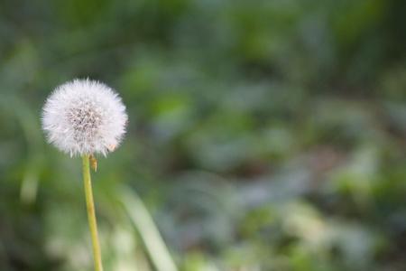 Dandelion in Seed 版權商用圖片