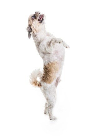 A Lhasa Apso Dog over a white background