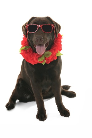 labrador retriever: Labrador retriever