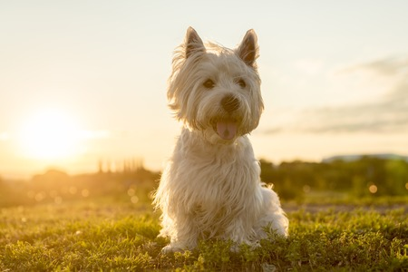 cute westie: A west highland white terrier a very good looking dog
