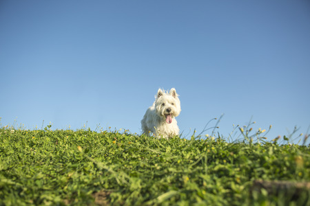 very good: A west highland white terrier a very good looking dog