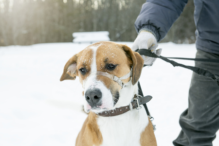sneaks: A nice dog on a leash in the snow Stock Photo