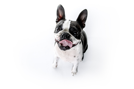 A Boston Terrier, standing in front of white background Stock Photo