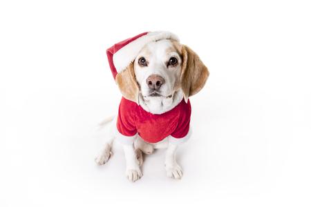puppy christmas beagle on white background stock photo 86893425 - Christmas Beagle