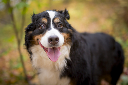 Bouvier Bernese mountain dog portrait in outdoors Reklamní fotografie