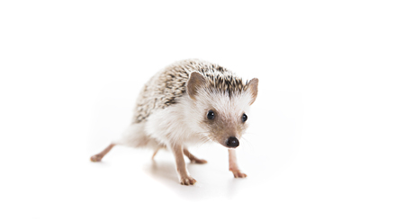 African hedgehog on white background