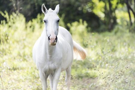 A White horse on a Costa Rica field