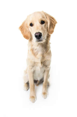 beautiful young Golden Retriever Portrait isolated on white