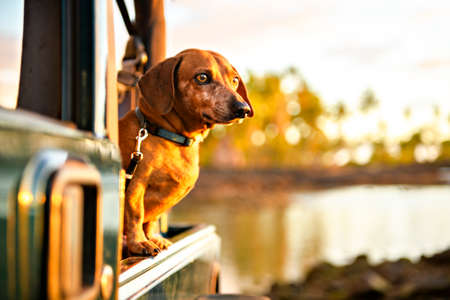 A portrait dog breed dachshund, tanning against the setting sun on the beach in summer