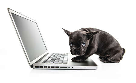 Black French bulldog puppy over a white background with laptop