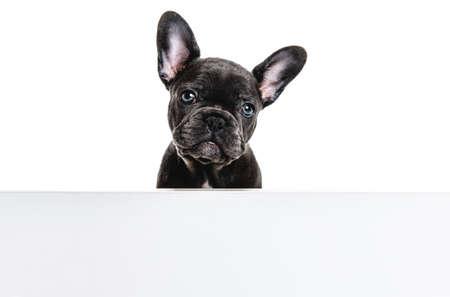 Black French bulldog puppy over a white background Stockfoto