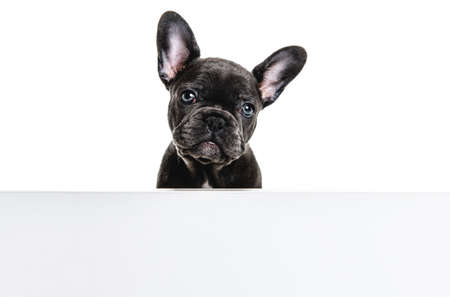 Black French bulldog puppy over a white background