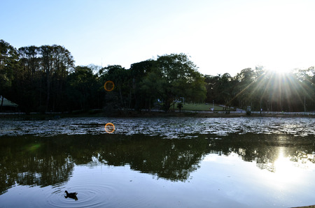 tree dweller: duck swimming