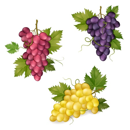 grapes in isolated: Different varieties of grapes on white background    Illustration