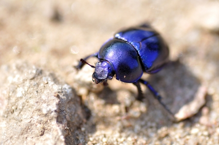 geotrupidae: Closeup of a beetle with selective focus  Stock Photo