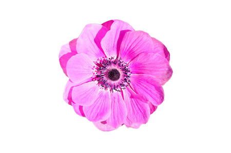 april flowers: Pink flower from the top isolated on white background.