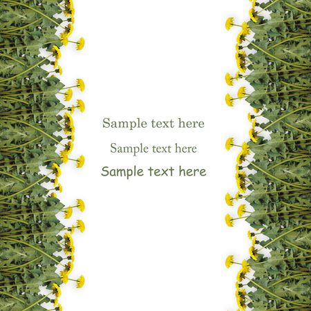 Page for advertising with  flowers of dandelions on the white isolated background photo