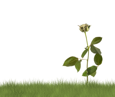 Growing rose on the white background. Conceptual image.  photo