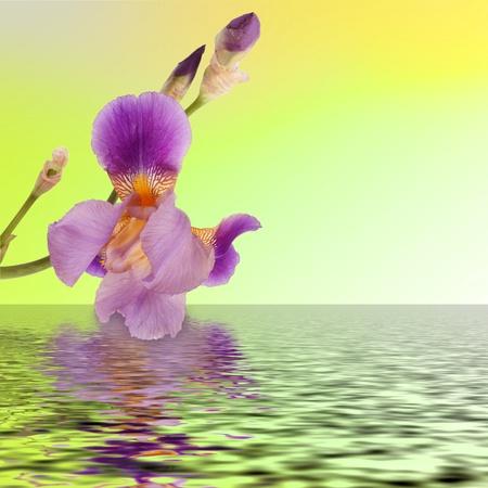 Beautiful flower iris reflection in the water photo
