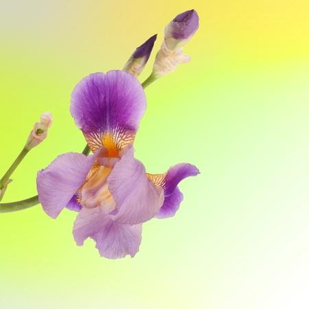 Beautiful purple iris on the yellow background  photo