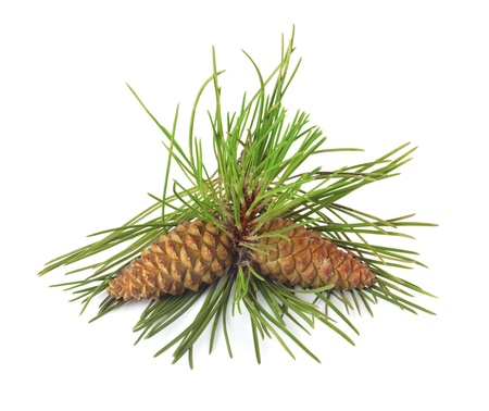 siberian pine: Branch of Christmas tree and pine cones on white isolated background  Stock Photo