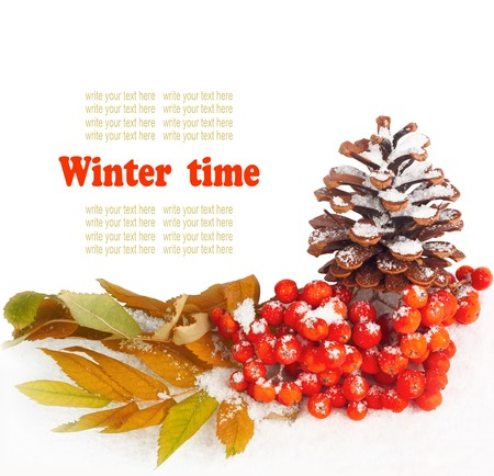 A twig of mountain ash and cone on snow background photo