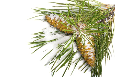 Snow-covered pine branch with cones isolated on white background photo