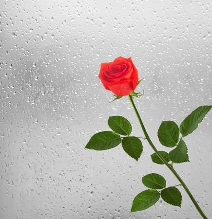 Bouquet of red roses on the background of a window with raindrops Stock Photo
