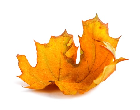 Autumn maple branch with leaves isolated on a white background photo
