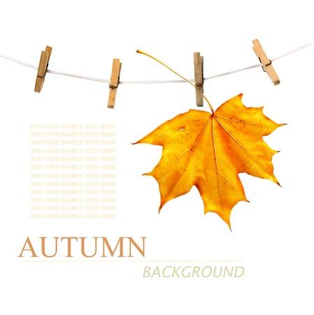 dode bladeren: Maple tak opknoping op waslijn op een witte achtergrond Stockfoto