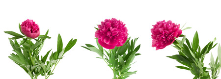 Set the beautiful bouquet of pink peonies on white background isolated Stock Photo