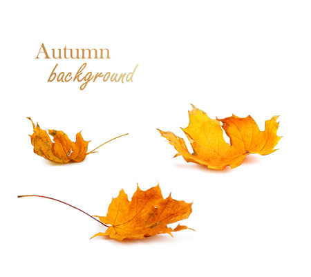 Autumn maple branch with leaves isolated on  white background Zdjęcie Seryjne