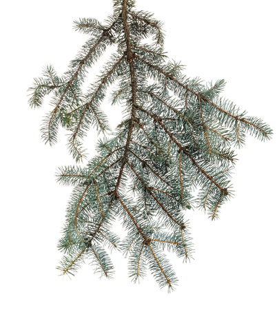 Green branch of spruce with needles on white isolated background