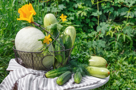Harvest of ripe cucumber squash and pumpkin in a metal basket on  wooden table in background of garden