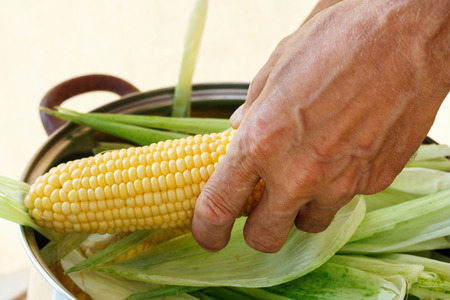 Farmer holding corn cobs in hand on the background of  wooden wall