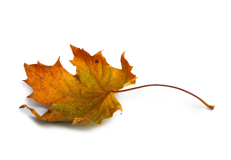 Autumn maple branch with leaves with shadow isolated on white background