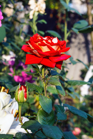 Beautiful red rose with  leaves in  summer garden on background of greenery