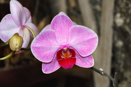 Beautiful pink orchid branch variety Phalaenopsis Sanderiana  on  dark background outdoor in  garden