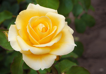 Beautiful yellow rose with  leaves in  summer garden on background of greenery