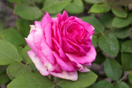 Beautiful pink rose with  leaves in  summer garden on background of greenery